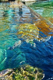 Enorme zeeschildpadden onder water in het rode zee-aquarium