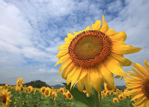 Enorme zonnebloem op het veld, midden van thailand