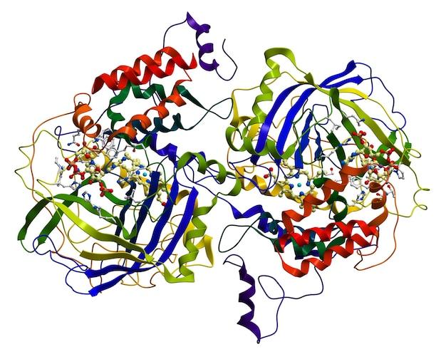 Enzym catalase, een zeer belangrijke antioxidant in het organisme