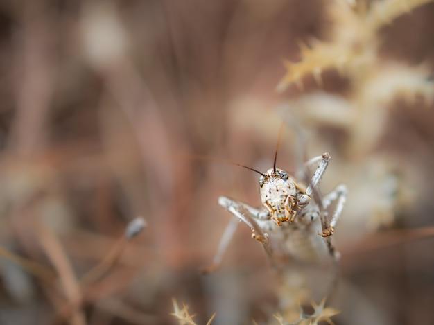 Ephippiger ephippiger, cicade gefotografeerd in hun natuurlijke omgeving.