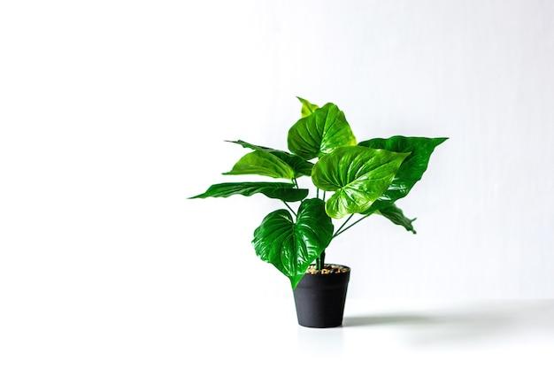 Epipremnum bloem in een zwarte pot op een witte achtergrond