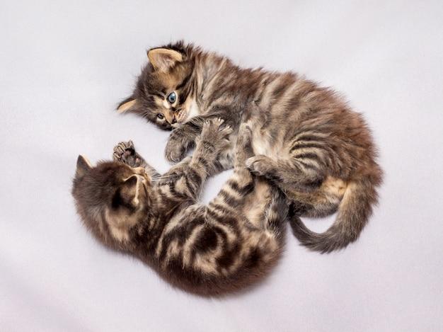 Er worden twee kleine gestreepte kittens gespeeld. grappige spelletjes en leuk