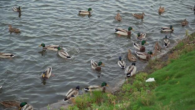 Er zijn veel eenden in het stadspark aan het meer