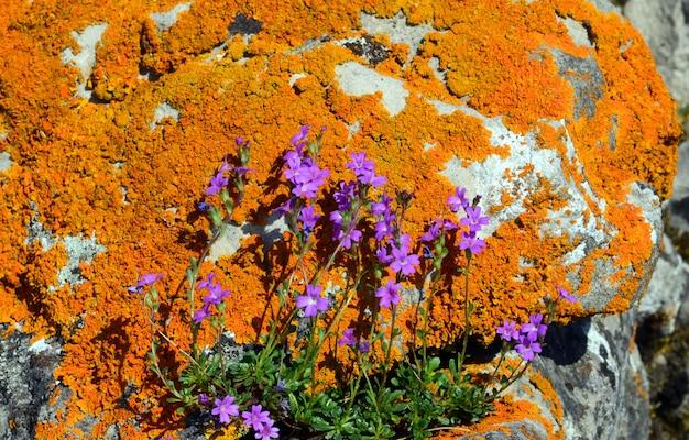 Erinus alpinus tussen met korstmos bedekte rotsen