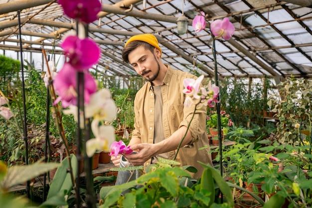 Ernstige jonge bebaarde man in hoed bloemblaadjes controleren tijdens het kweken van orchideeën in kas