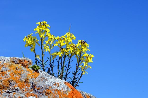 Erysimum gorbeanum is een endemische bergplant van het iberisch schiereiland