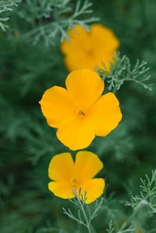 Escholzia gele bloemen groeien in de tuin in de zomer