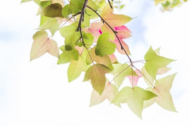Esdoorn bladeren
