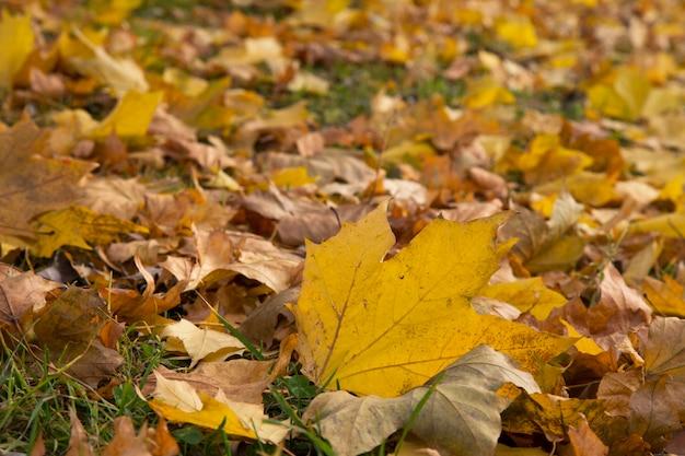 Esdoorn gele bladeren gevallen van de boom in de herfst. oktober, verwelking