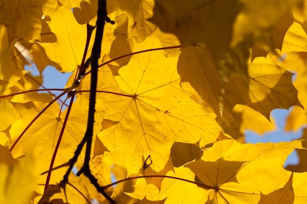 Esdoorn in het herfstseizoen