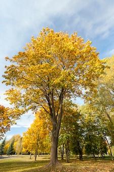 Esdoorn met vergelende bladeren in het park in de herfstseizoen. gefotografeerd tegen een blauwe lucht.