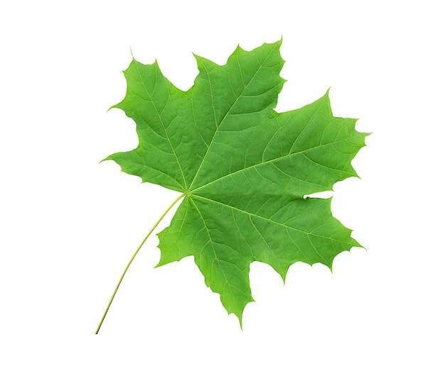 Esdoornblad dat op witte achtergrond wordt geïsoleerd