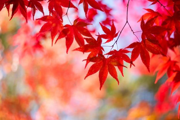 Esdoornbladeren, de herfstseizoen van japan
