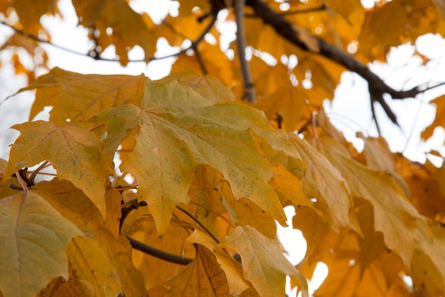 Esdoornbladeren in de herfst op boomtakken. weelderig gebladerte in oktober