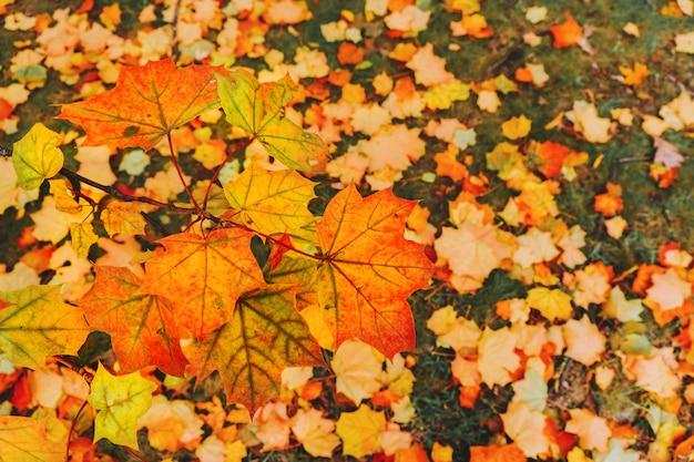 Esdoornbladeren in de herfstseizoen in park. selectieve aandacht