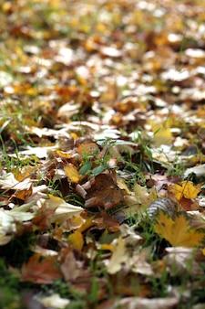 Esdoornbladeren in park, close-up