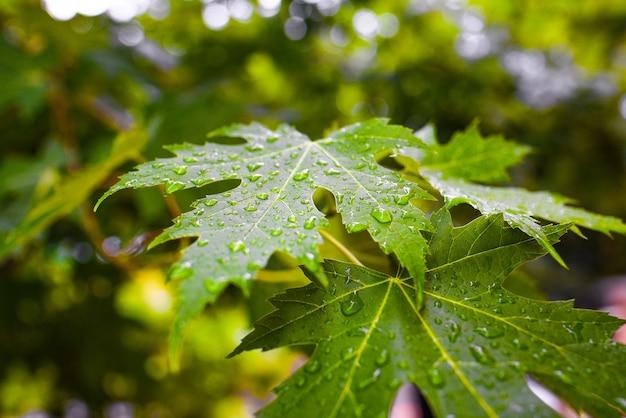 Esdoornbladeren met waterdruppels