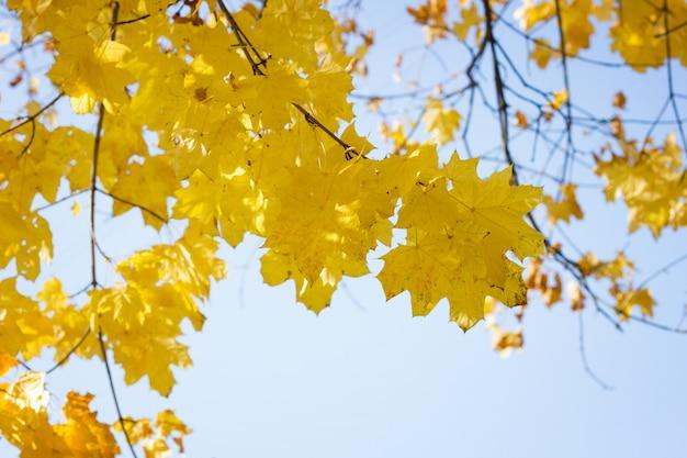 Esdoornbladeren op de boom in de herfst. esdoorn