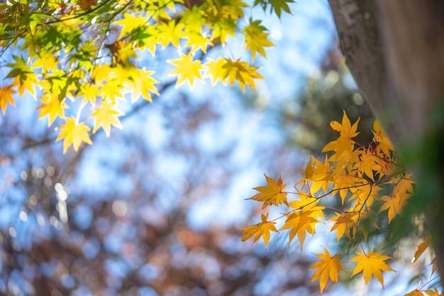 Esdoornbladeren veranderen van kleur. van groen tot geel tot het rood bereikt in het park.