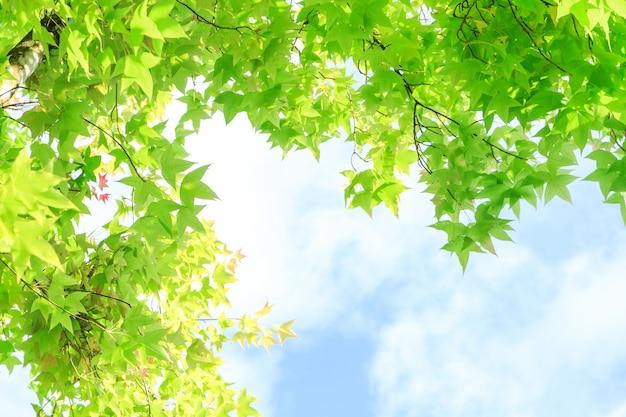 Esdoornbladeren voor achtergrond