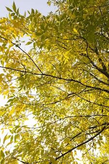 Esdoorns tijdens de veranderingen in het herfstseizoen, de prachtige natuur en de specifieke kenmerken van de seizoenen