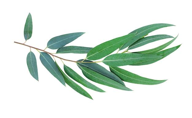 Eucalyptus bladeren geïsoleerd op een witte ondergrond