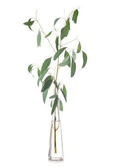 Eucalyptus in reageerbuis