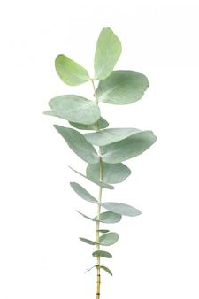 Eucalyptus plant tak geïsoleerd op wit