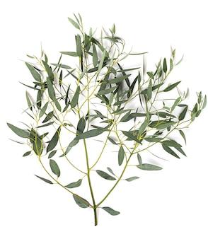 Eucalyptus stengel