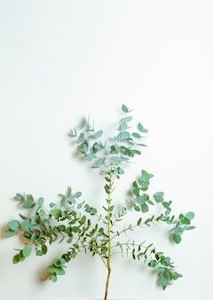 Eucalyptus takken op een witte achtergrond