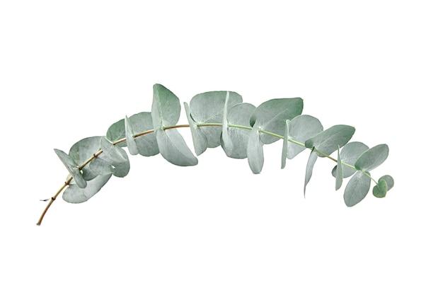 Eucalyptusbladeren die op witte muur worden geïsoleerd