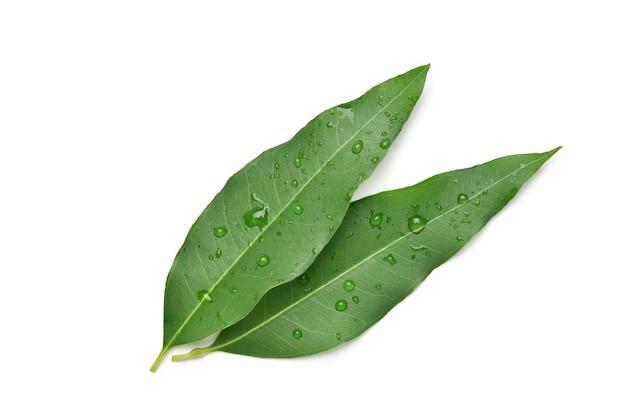 Eucalyptusbladeren met waterdruppeltjes die op wit met het knippen van weg worden geïsoleerd.