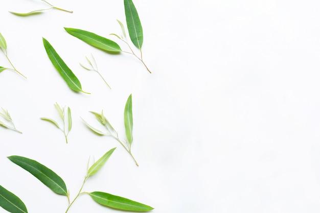 Eucalyptusbladeren op wit.