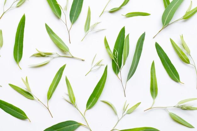 Eucalyptusbladeren op wit