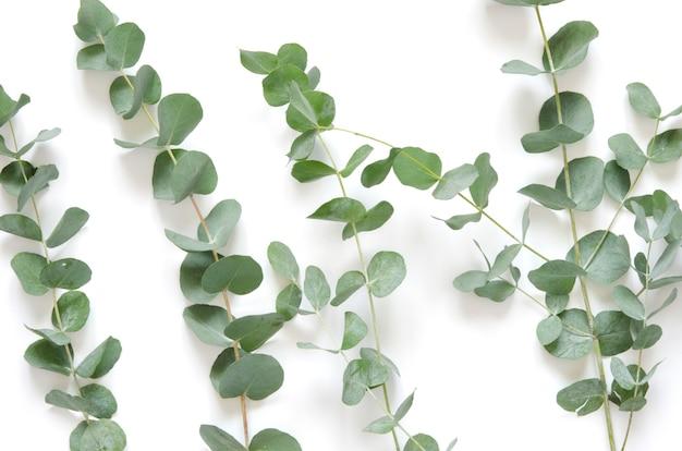 Eucalyptusbladeren op witte achtergrond.