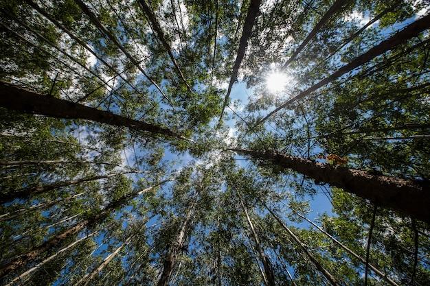 Eucalyptusbos in de staat sao paulo - brazilië. planten voor de papierindustrie