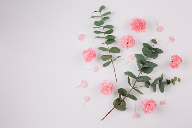Eucalyptuspopulus bladeren en takjes met roze anjersbloemen die op witte achtergrond worden geïsoleerd