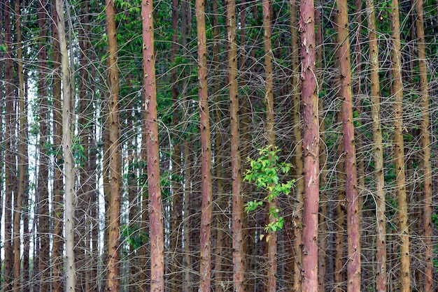 Eucalyptusstammen in symmetrische compositie
