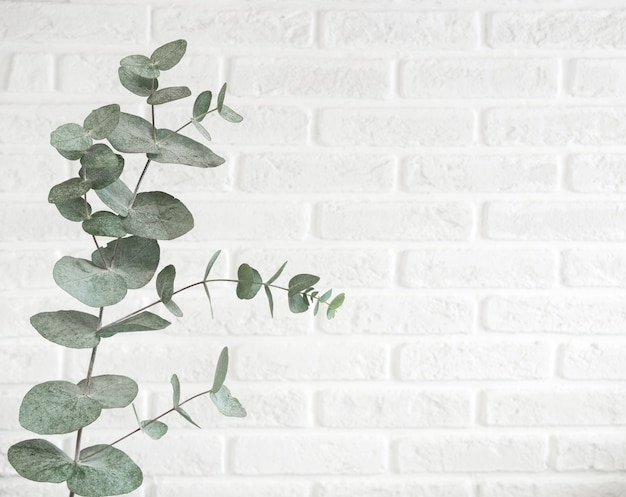 Eucalyptustak op heldere achtergrond, studioschot wordt geïsoleerd dat. decoratieve plant hangend aan de bakstenen muur in trendy scandinavische kleur met ruimte voor tekst.