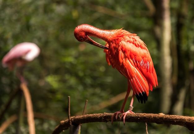 Eudocimus ruber, de ibis-vogel rood in het nationale vogelspark aves, brazilië.