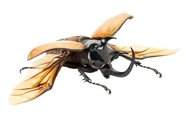 Eupatorus gracilicornis kever