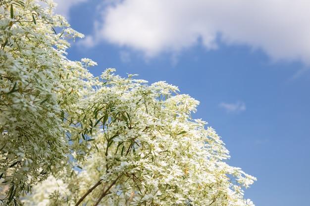 Euphorbia bloem met blauwe lucht
