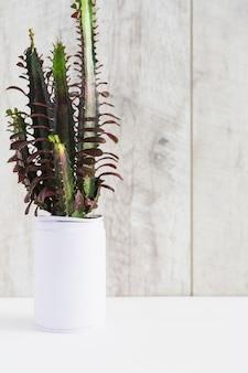 Euphorbia trigona in de witte geschilderde container tegen houten achtergrond
