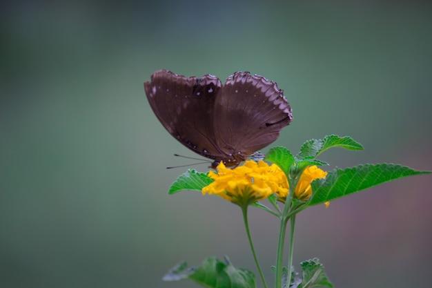 Euploea kern de gewone kraai is een gewone vlinder