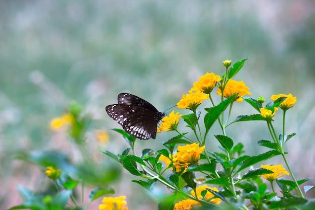 Euploea-kern of ook bekend als de gewone kraaivlinder die bloemplanten bezoekt tijdens het lenteseizoen