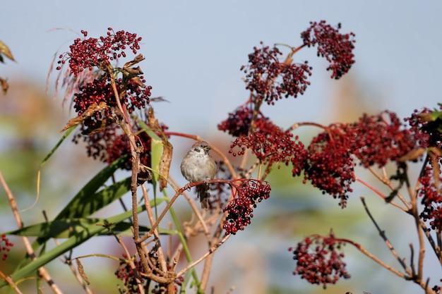 Euraziatische boommus (passer montanus) zit op een tak omringd door rijpe europese zwarte vlierbessen