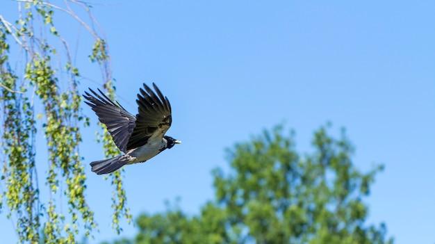 Euraziatische ekster, vliegt tegen de hemel, ook bekend als gewone ekster.