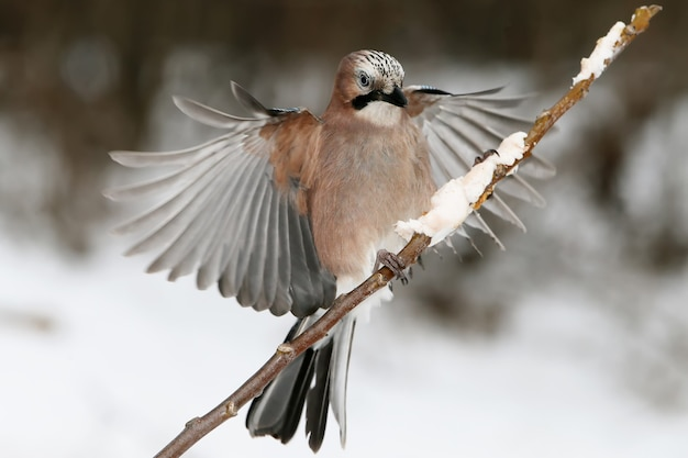 Euraziatische gaai met open vleugels landt op een dunne tak met voedsel