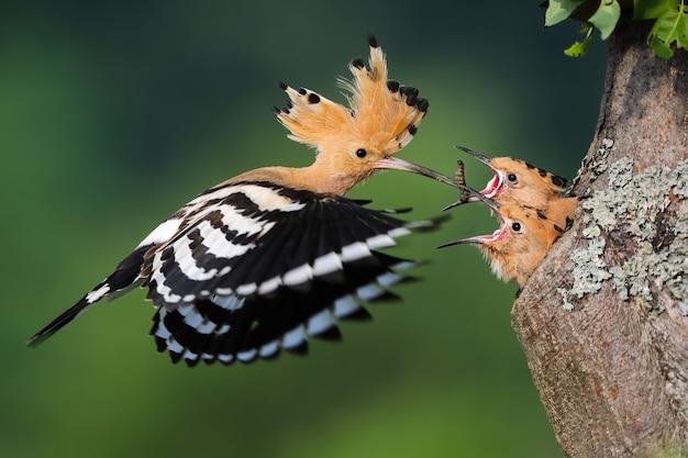 Euraziatische hop, upupa epops, kuiken voederen in boom in zomer natuur. kleine vogels eten van moeder uit gat in hout tijdens de zomer. gevederd dier met kuif tijdens de vlucht met worm in bek.