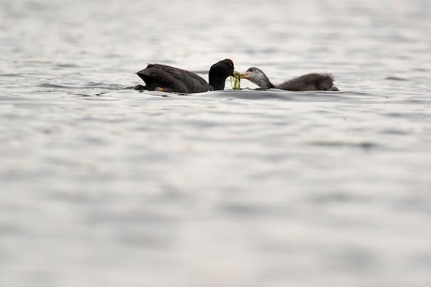 Euraziatische meerkoet met zijn kip in een meer tijdens de lente vogels kijken in een klein meertje in spanje